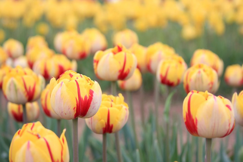 Wicked Tulips: Spring things to do in Rhode Island